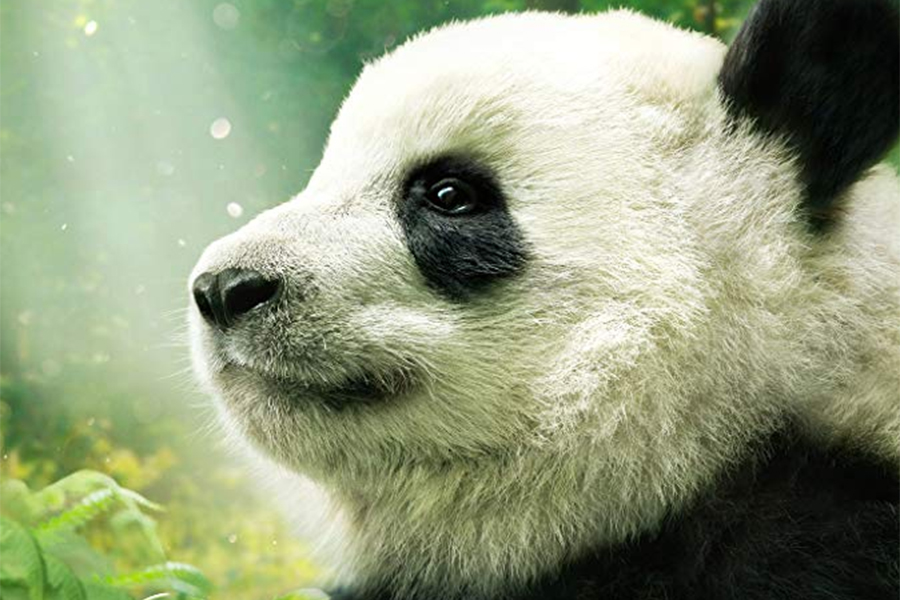 Imax Documentary 'Pandas' Arrives on Digital April 9 From Warner